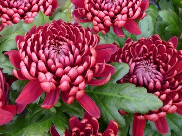 重陽の節句 菊の節句イメージ