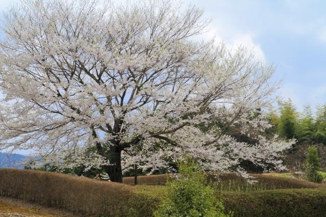 醍醐桜 見ごろ一本桜名所岡山県