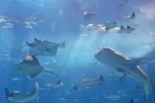 ジンベエザメ水族館