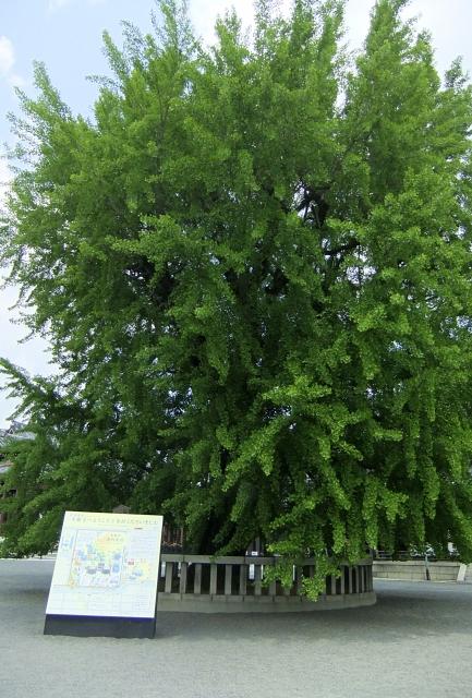 西本願寺銀杏紅葉前